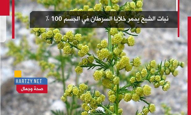 نبات الشيح يدمر خلايا السرطان في الجسم 100 Hartzy هارتزي Plants Herbs Medical