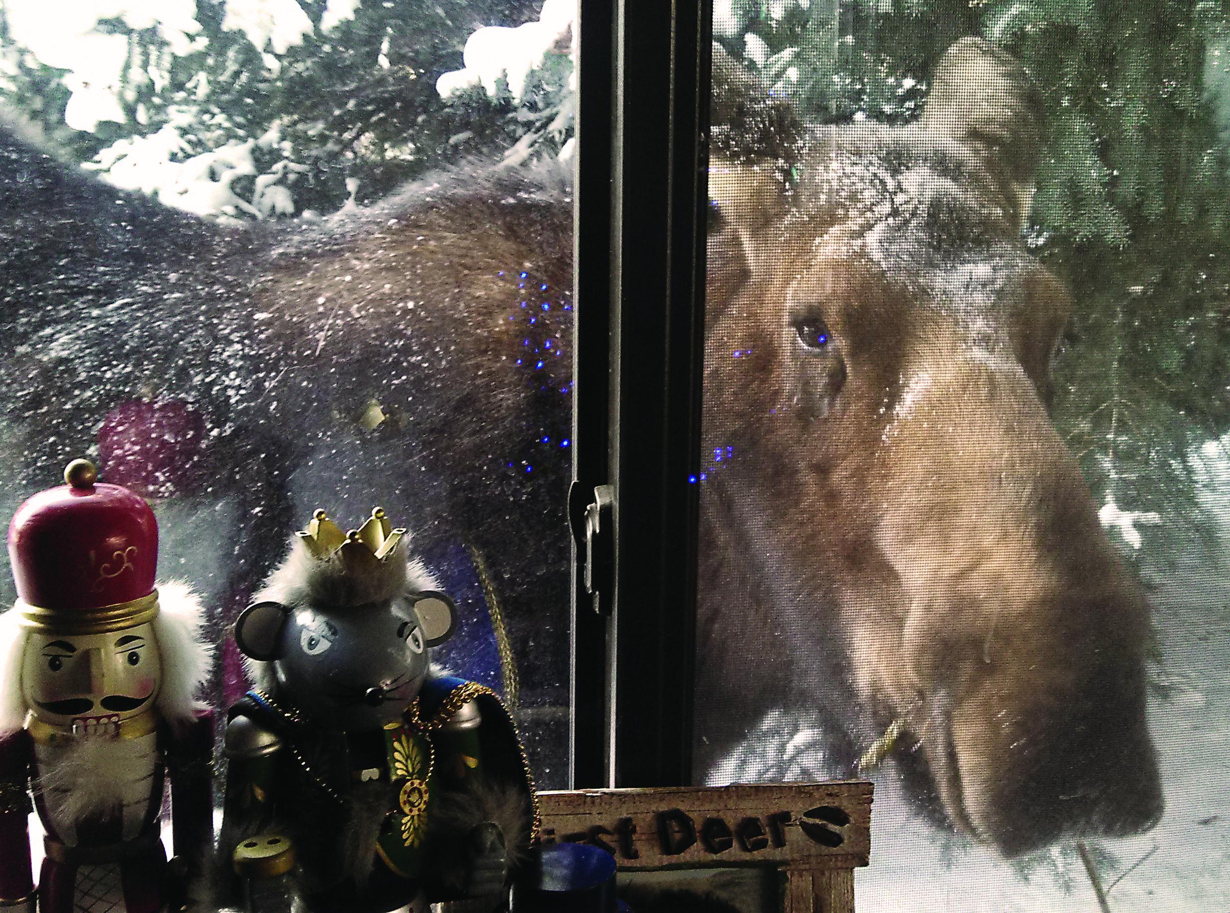 Moose peeking in the window in Big Sky, MT!