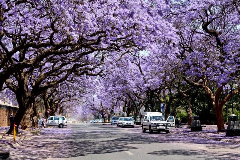 Jacaranda tree lined streets in South Africa - Google Search
