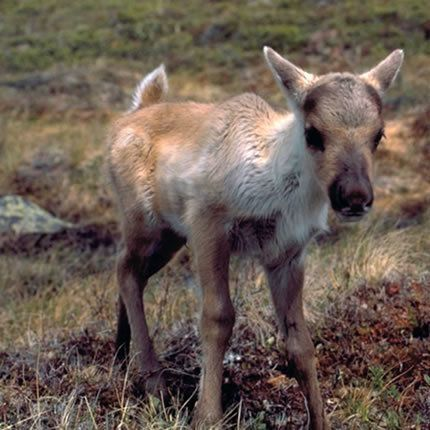 petition resolute forest products protect the woodland caribou