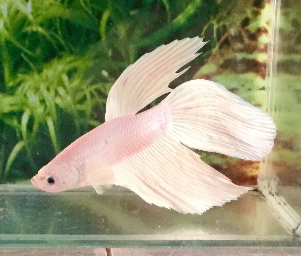 Seller: water_pets ( in USA ) March 2018 // FISH: Vailtail Betta ...