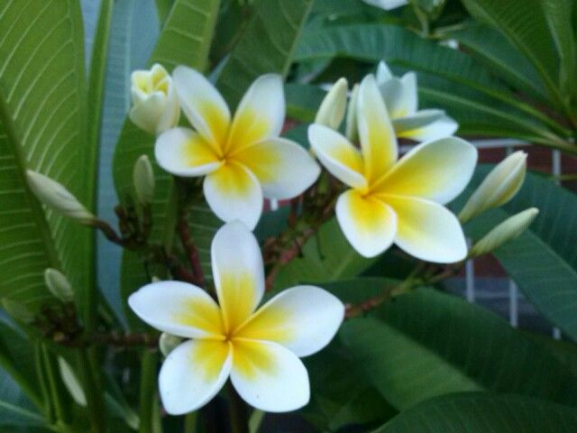 Yellow white australian flowers sweet perfumed elegantvscents yellow white australian flowers sweet perfumed elegantvscents mightylinksfo