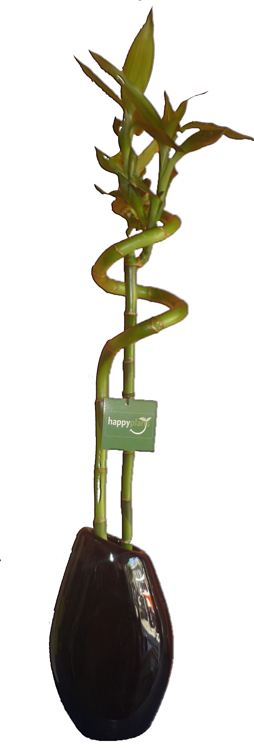 What do the colors of ribbon symbolize on lucky bamboo ehow - Lucky Bamboo Doble En Florero Negro Gota Mediano