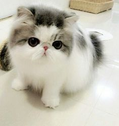 Fluffy grey and white cat