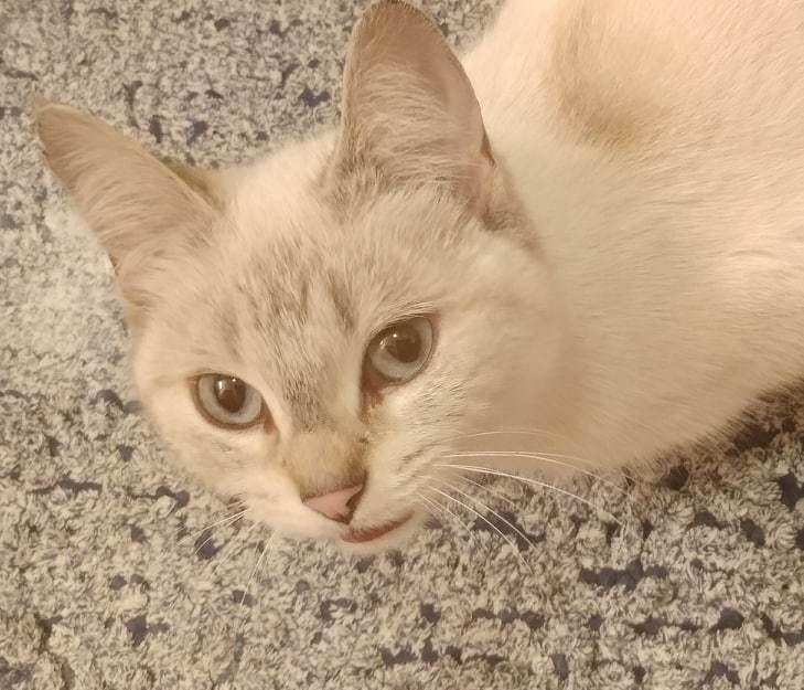 Adopt Keena on Help homeless pets, Siamese cats