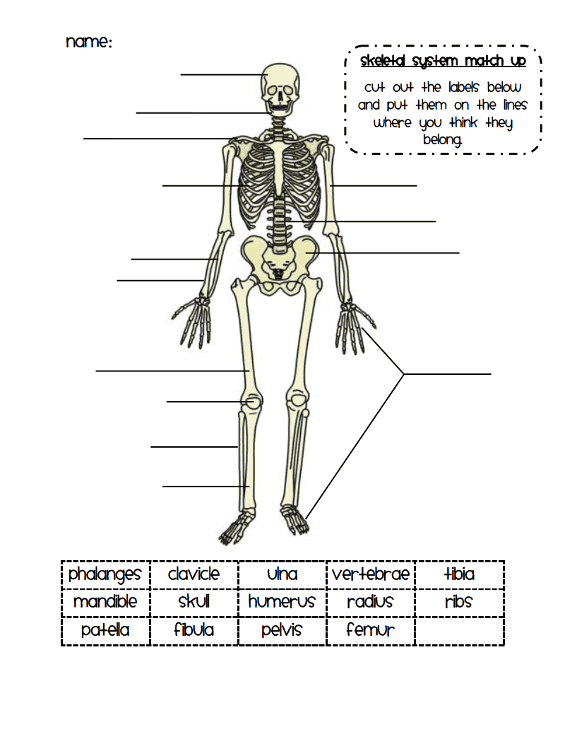 hight resolution of skeletal system match up pdf google drive