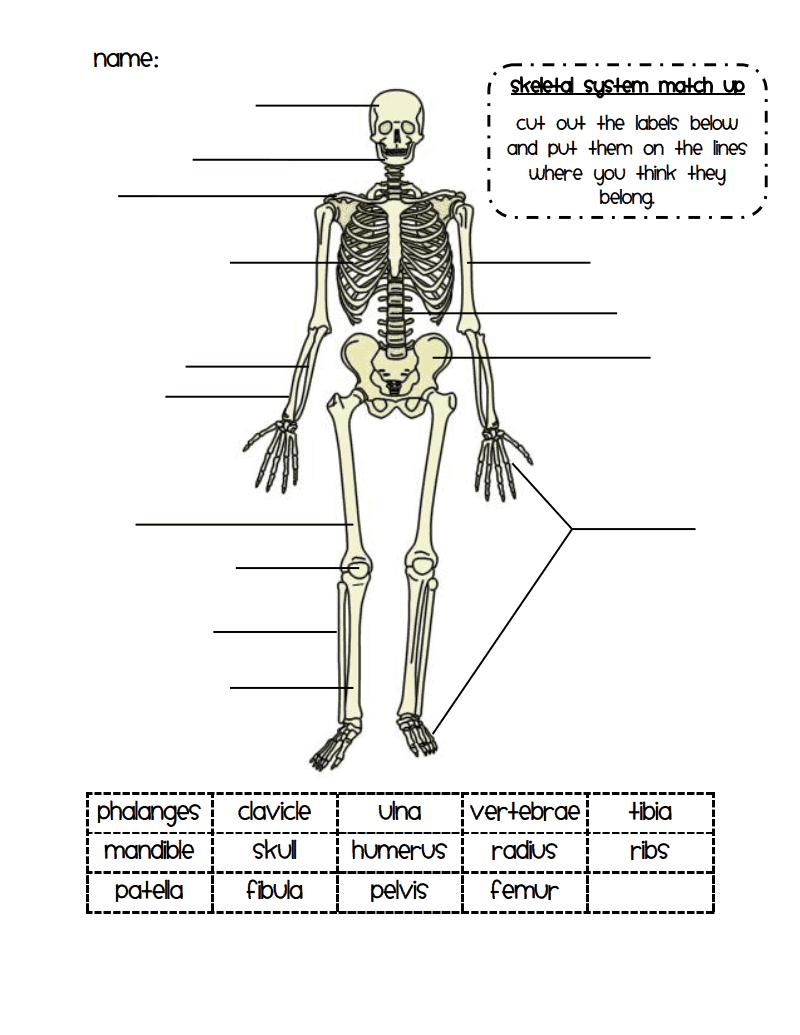 30 Label The Skeleton Worksheet Pdf   Labels For Your Ideas