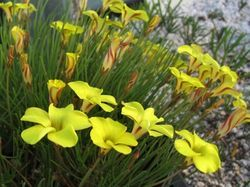 The bulb Maven on South African Oxalis, info on colour varieties and growth