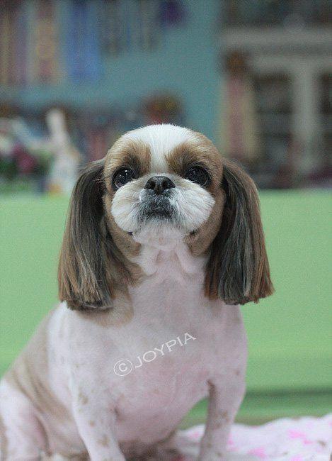 Korean Dog Grooming Style Shih Tzu Dog Grooming Styles Shih Tzu Dog Dog Groomers