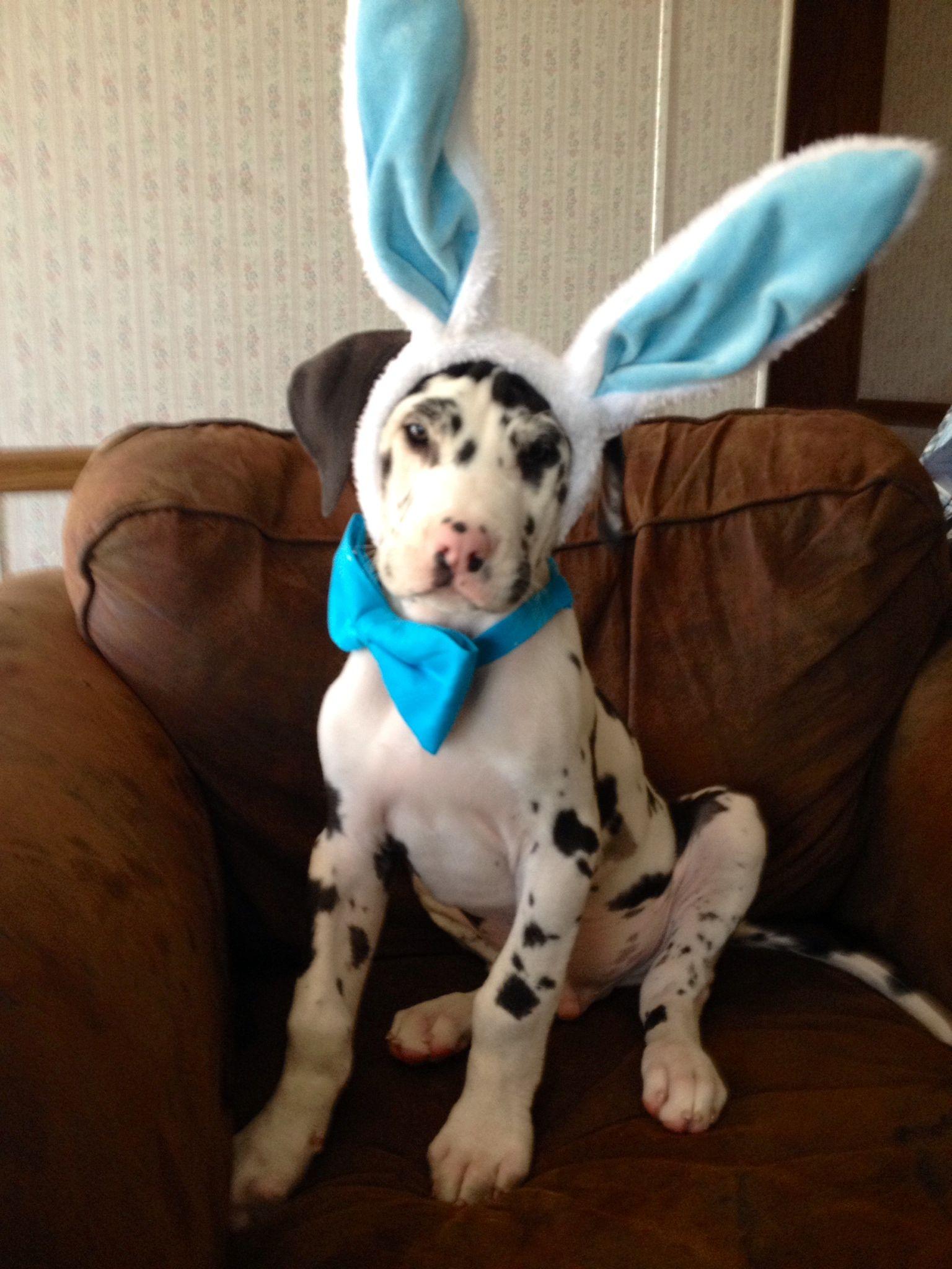 Here comes Samson the Bunny ) Deutsche doggen, Deutsche