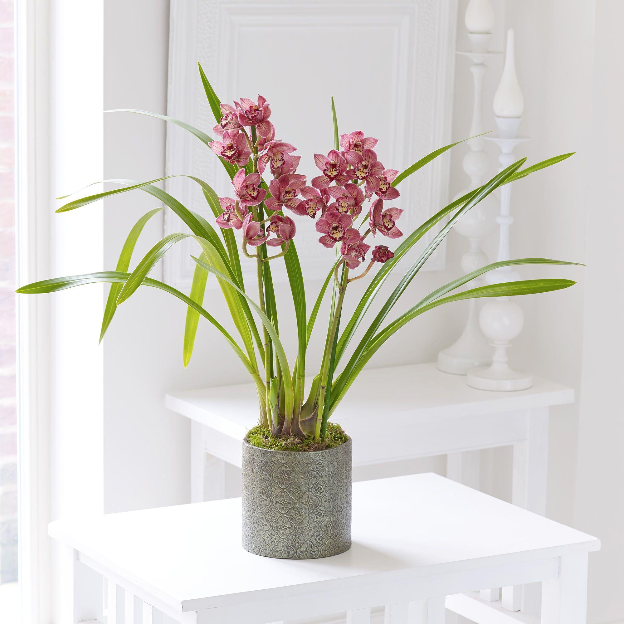 This dusky pink Cymbidium orchid looks very pretty