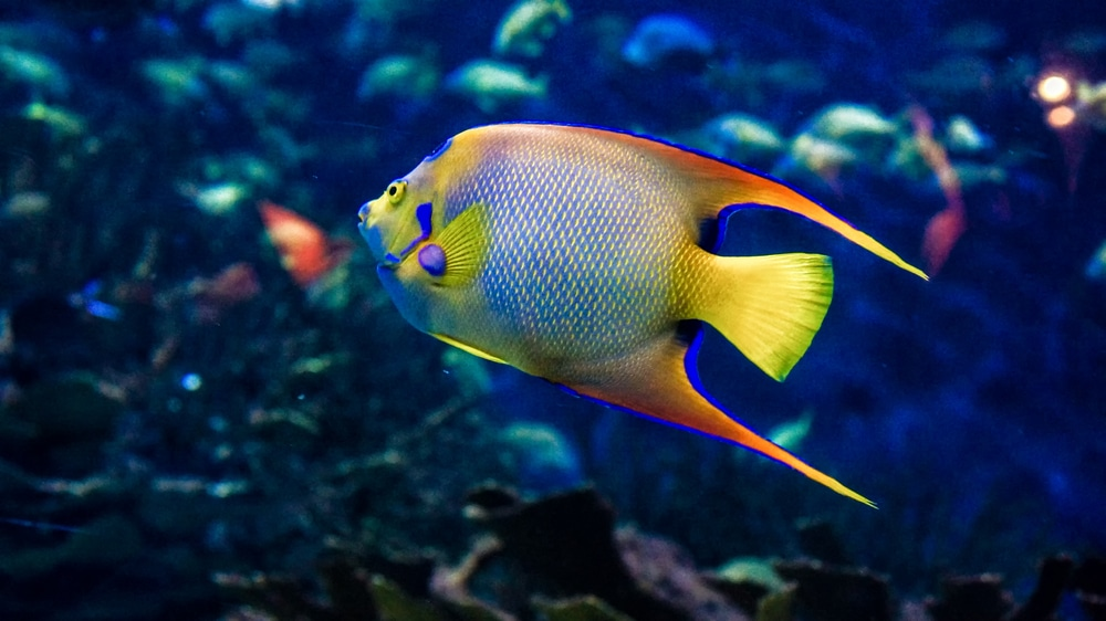15 Awesome Types Of Saltwater Angelfish Build Your Aquarium Saltwater Angelfish Angel Fish Saltwater