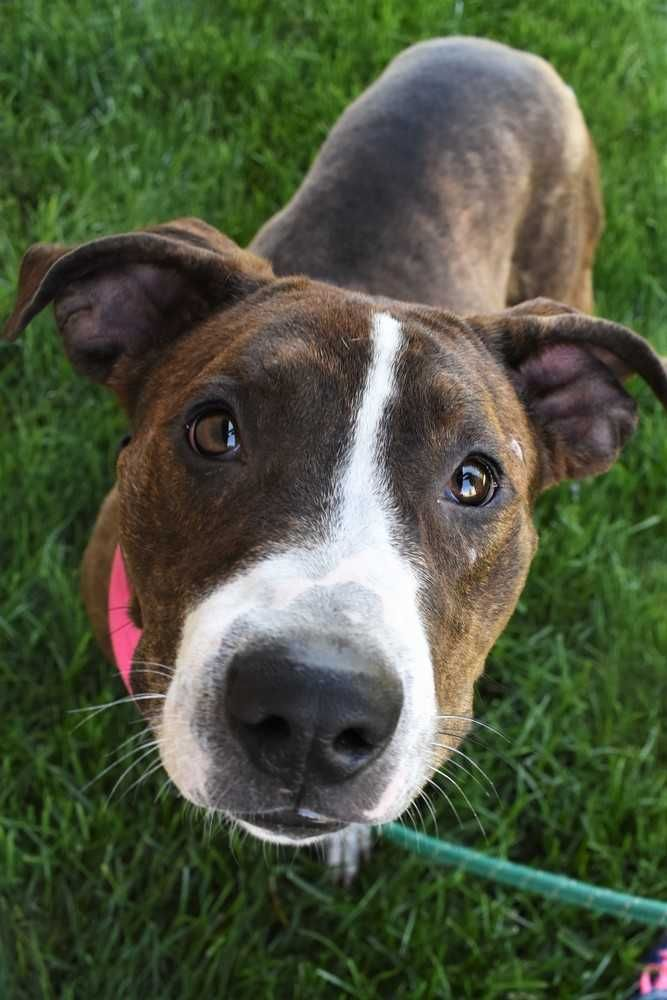 Boxer dog for Adoption in Fayette, MO. ADN548705 on