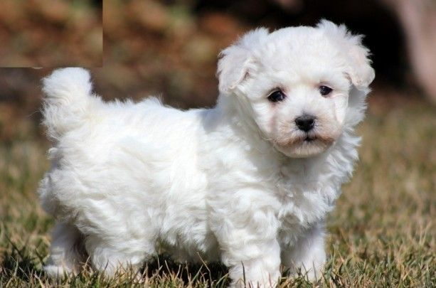 pet unicorns for sale that are real | Handsome Bichon Frise Puppies For Sale - Dogs Cats and Pets