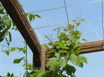 Bliss Sub Vitis Wire Trellis Vine Trellis Garden Vines