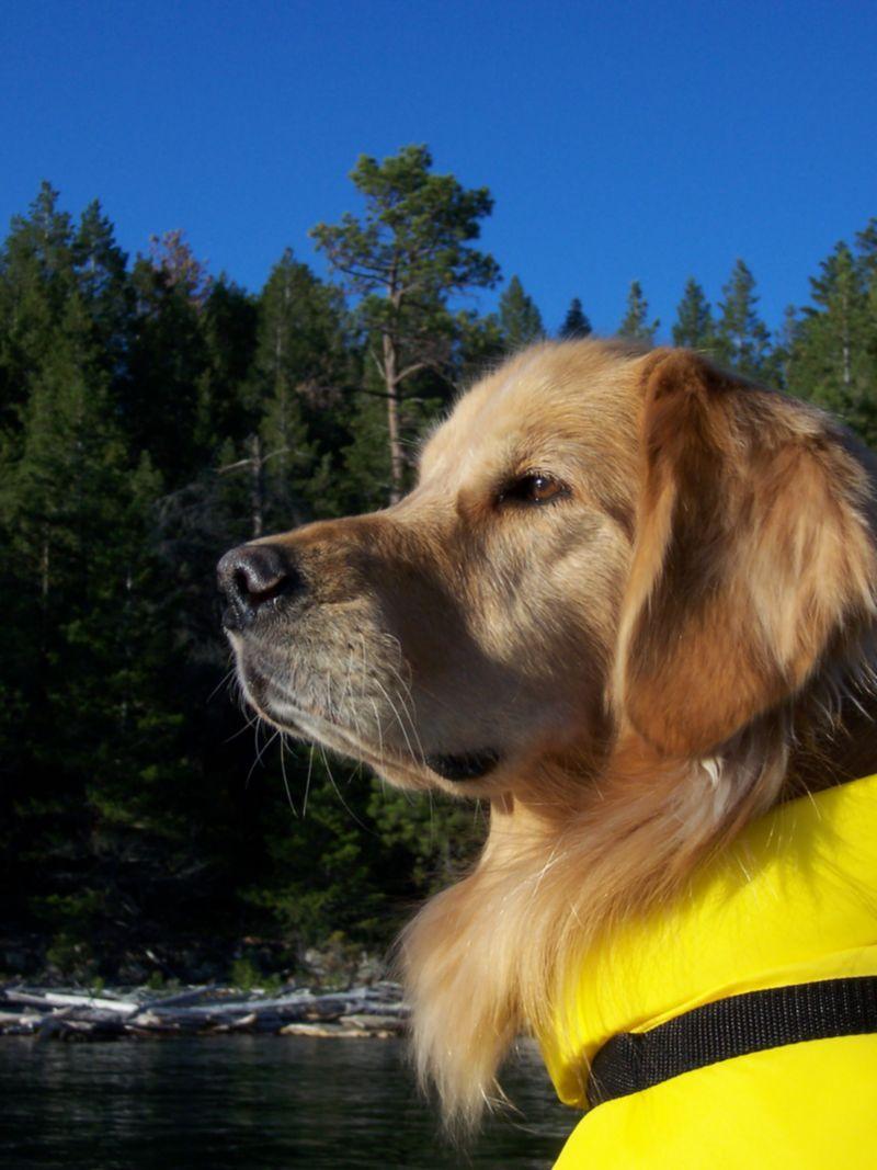 Golden retriever Trouser boating on Flathead Lake, Montana