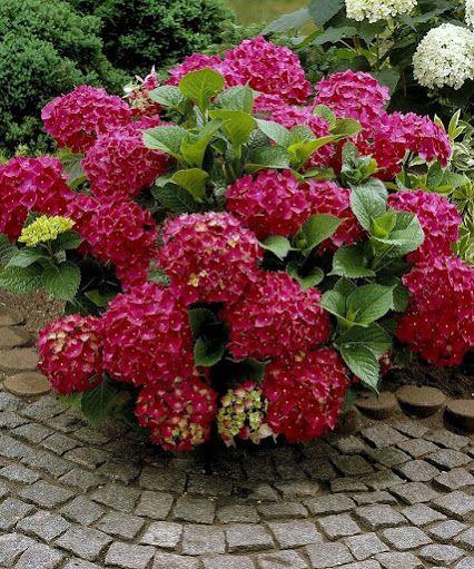 Hydrangeas & Brick Pavers....great combo....