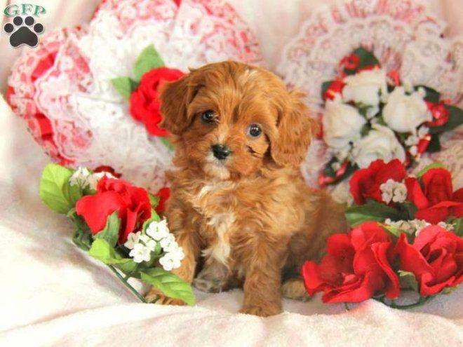 Adorable Cute Golden Cockapoo Puppy Cockapoo Puppies Cavapoo Puppies Cavapoo Puppies For Sale