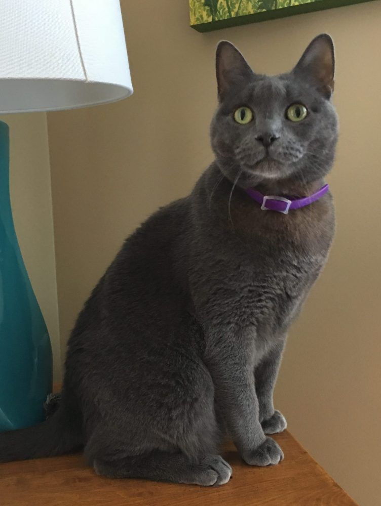 Knoxville TN Male Russian Blue Mix Cat, 4, For Adoption