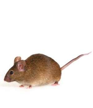 Mouse Control And Extermination Mice Control Termite Control Household Pests