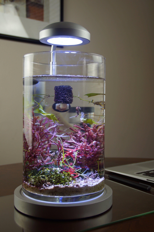 dwarf seahorse aquarium akváriumok