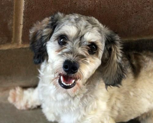 Adopt Ruben on | All creatures great and small | Schnauzer
