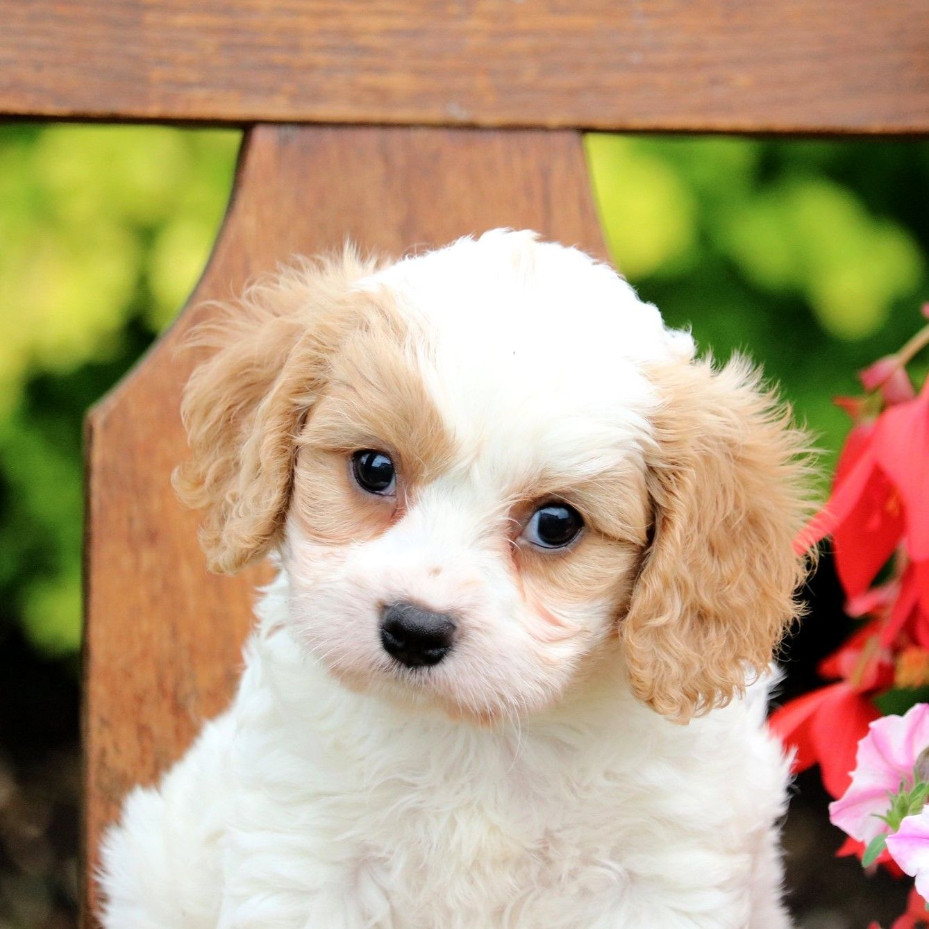 Precious Kindhearted Cuddly Cute Cavachon Puppies Will Make Great Companions They Would Love Curl Up Cavachon Puppies Cavachon Puppies For Sale