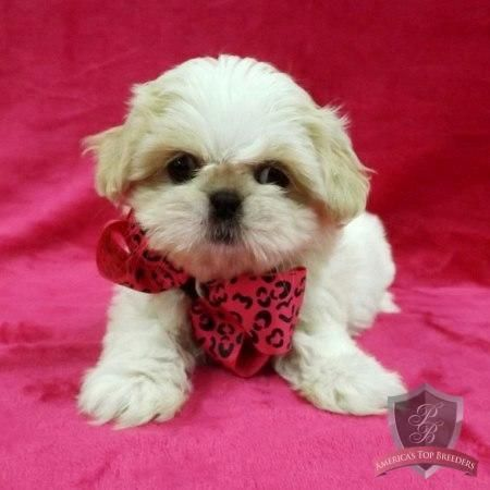 New Jersey Shih Tzu Puppy Shortcake Puppies Shih Tzu Breeders
