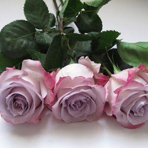 Purple Haze Roses