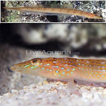 Filamented Sand Eel Diver Trichonotus Setiger With Images