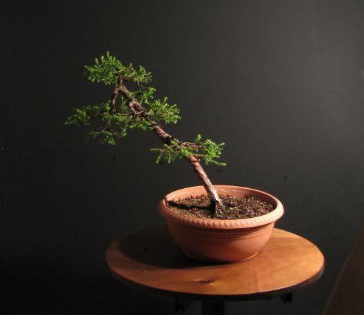Bonsai Cupressus Macrocarpa Goldcrest