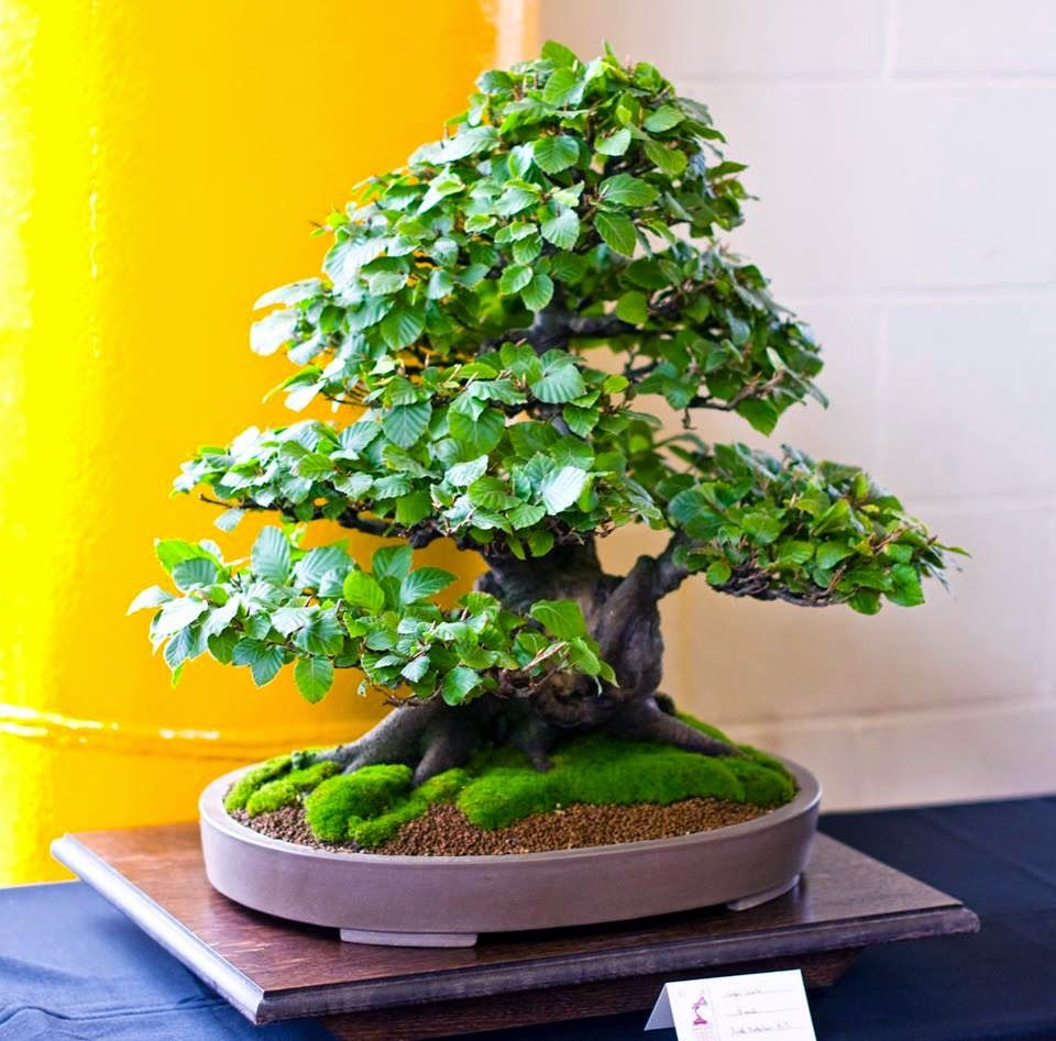 Pin Von Prasit Tangjitrapitak Auf Bonsai 1 บอนไซ Bonsai Baum