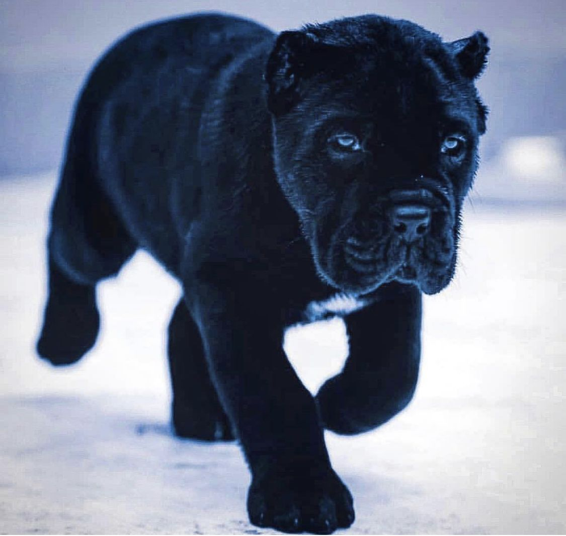 Pin By Richard Thompson On Puppies Aww Look At The Poo Poos Cane Corso Puppies Corso Dog Baby Dogs