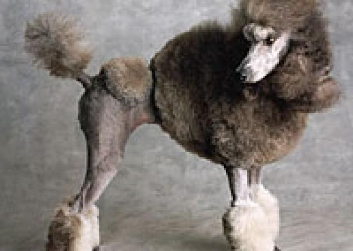 The Genesis Of The Poodle Hairdo Dog Hair Dog Haircuts Dogs