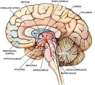 Hypothalamus Brain Anatomy Brain Injury Brain Diagram