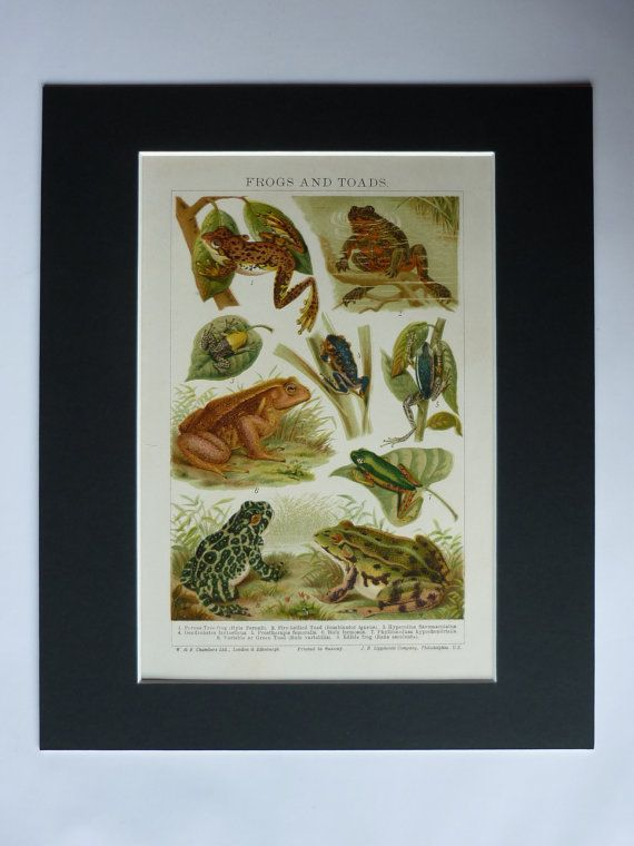 1920s Antique Print Of Frogs & Toads  Tree Frog by PrimrosePrints