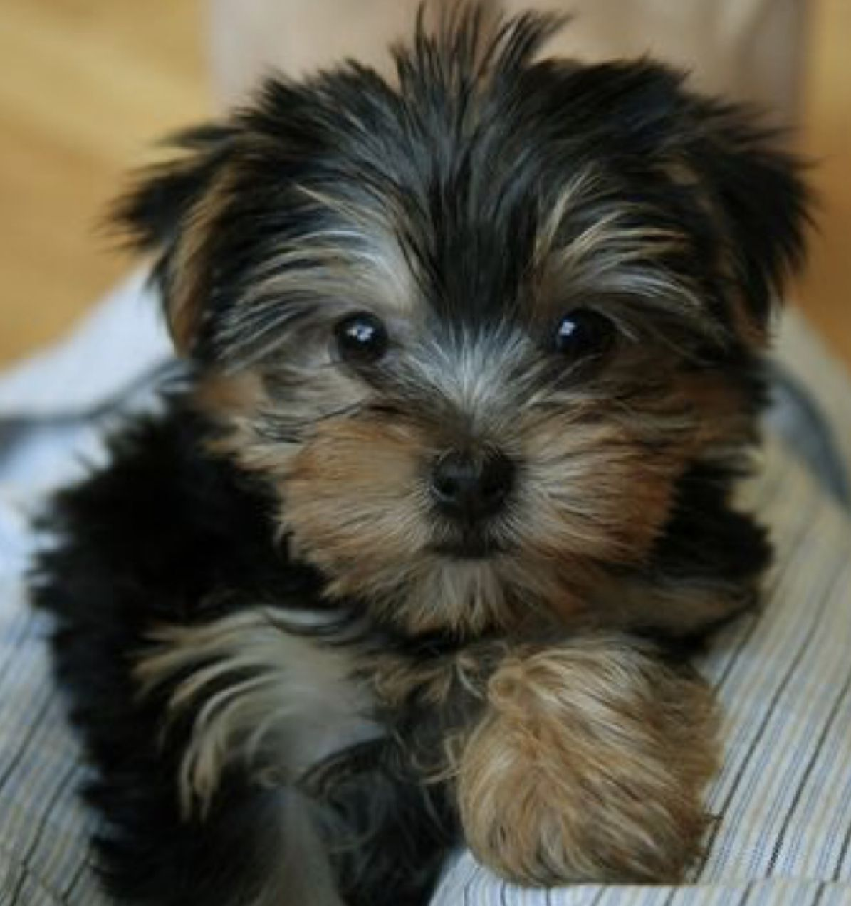 Pin By Laney On Charming Yorkshire Terrier Dog Yorkie Dogs Yorkie Terrier