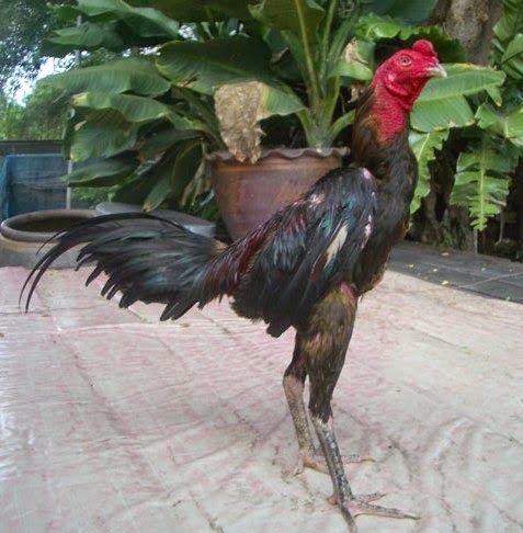 Tehnik Terbaik Ayam Bangkok Aduan | Ayam Juara | Ayam, Bangkok ...