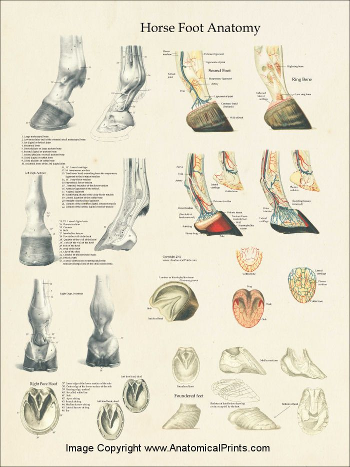 Horse Foot Anatomy Laminated Poster | Animal | Pinterest | Foot ...