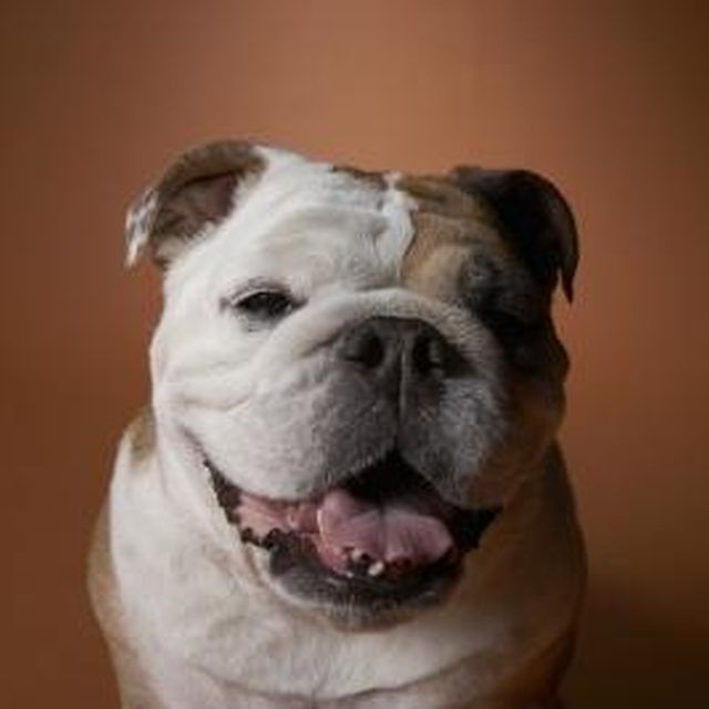 How To Groom And Care For An English Bulldog Friendly Dog Breeds