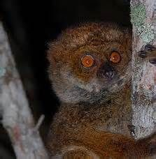Bemaraha Woolly Lemur Bing Images I Love Primates Pinterest