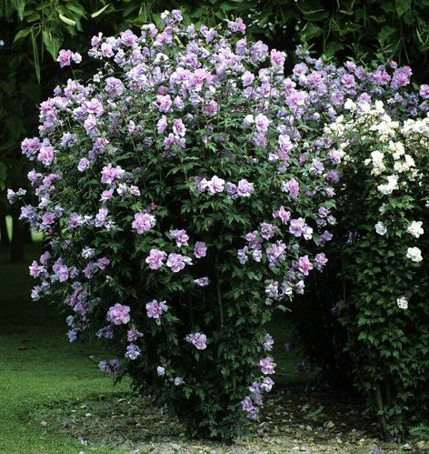 fiche plante : althéa | jardins, jardinage et plantes