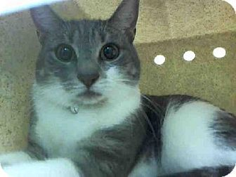 Brooklyn Ny Domestic Shorthair Meet Pizza A Kitten For Adoption Http Www Adoptapet Com Pet 17291426 Brooklyn New York Cat Adoption Kitten Adoption Pets