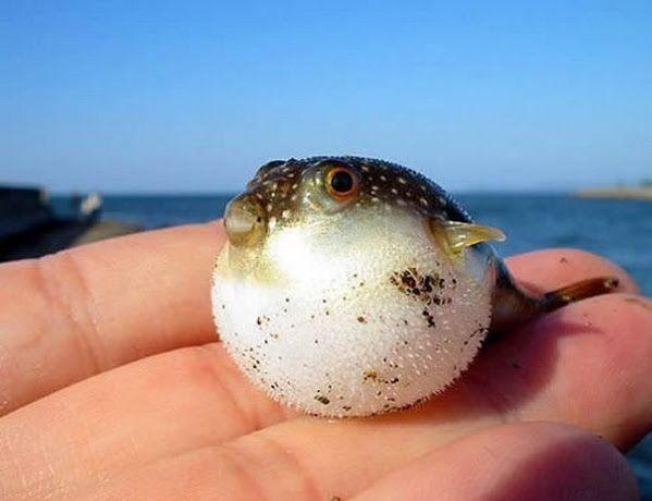 Puffer Fish Fry!