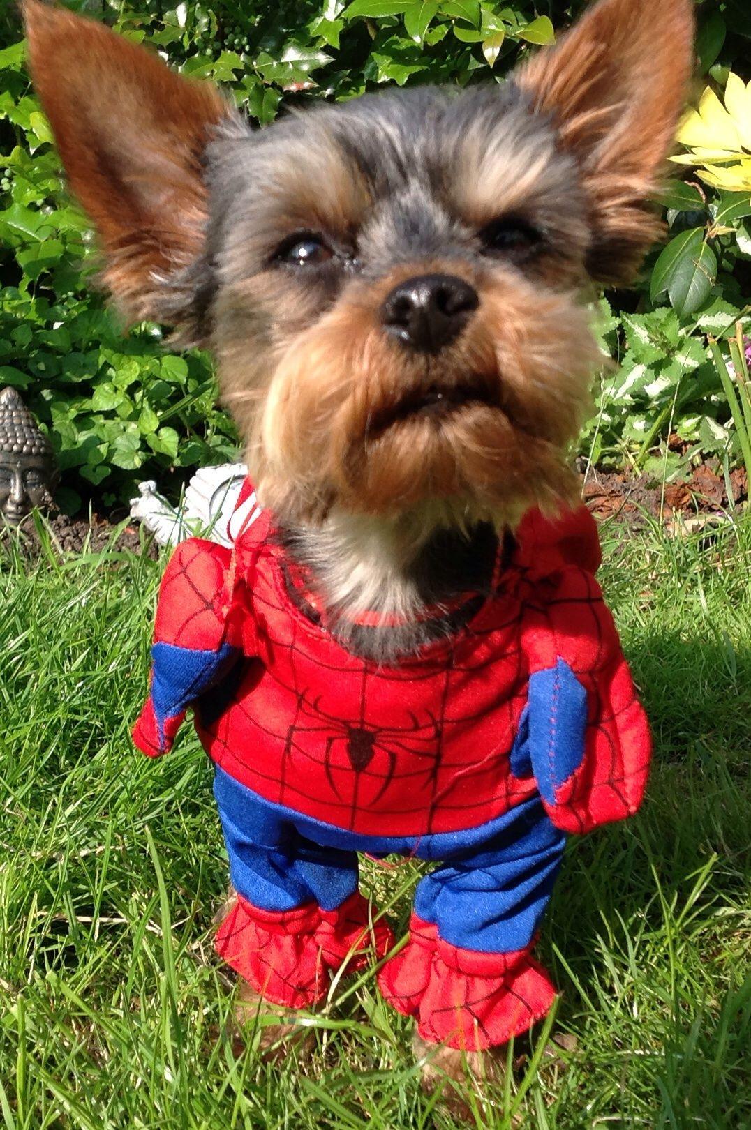 Bella My Little Yorkie In Her Spiderman Dog Costume Dog