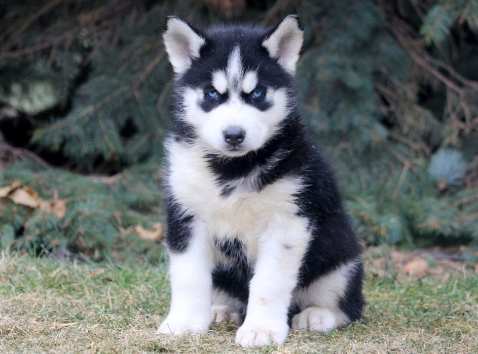 Devin Health Guaranteed Keystone Puppies Siberian Husky Puppies