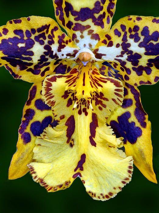 Exotic Orchids Serafini Amelia Yellow Orchid Orquídeas