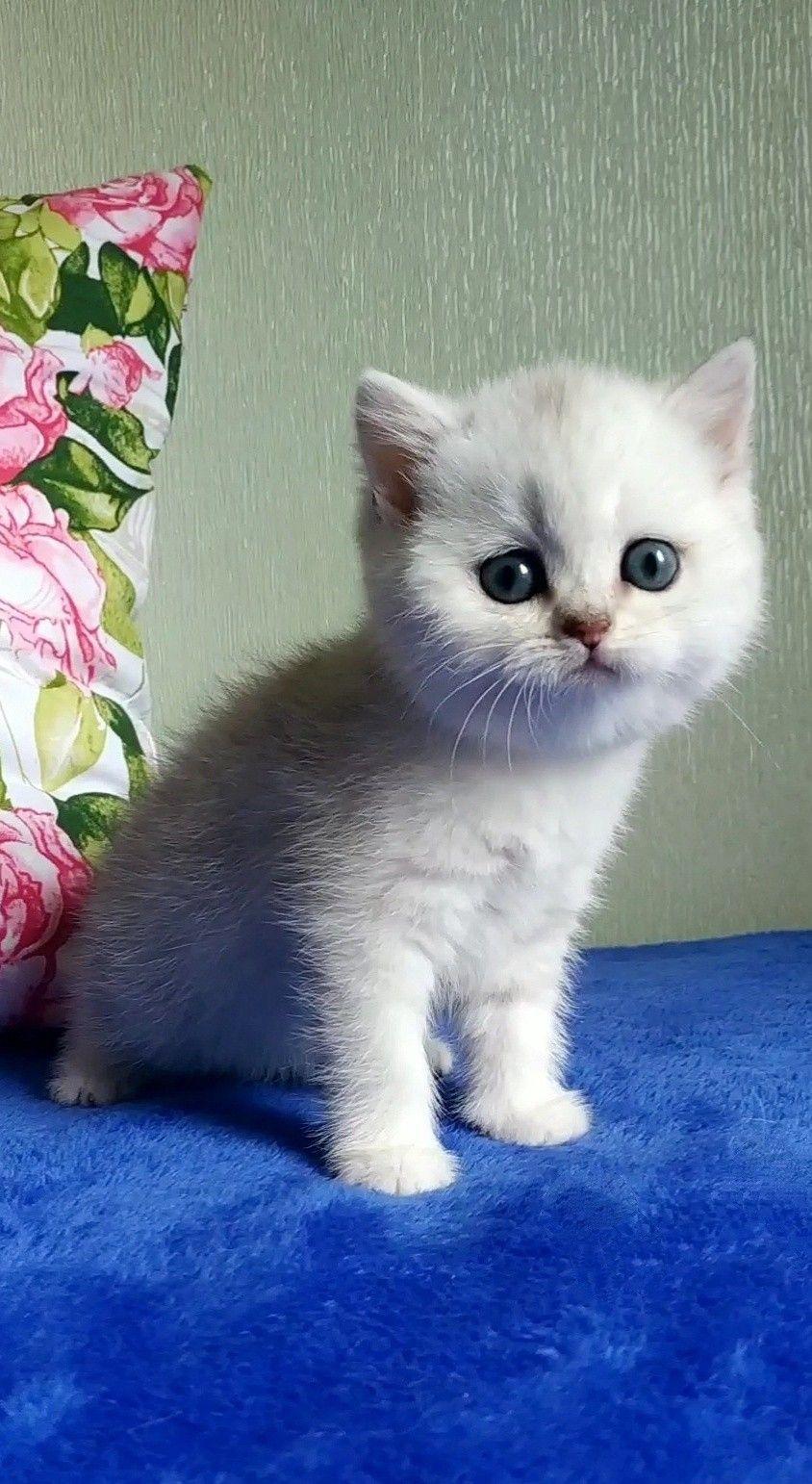 Ns11 Kitten Female British Shorthair British Shorthair Kitten Kitty