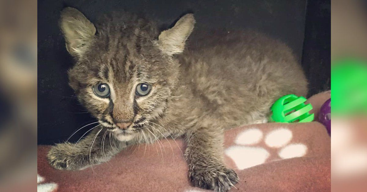 Woman Rescues Kitten From Side Of The Road Only To Realize She S Brought Home A Bobcat Kitten Rescue Bobcat Kitten Kitten