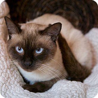 Siamese Cat For Adoption In Brimfield Massachusetts Cosmo Pets Pet Adoption American Animals